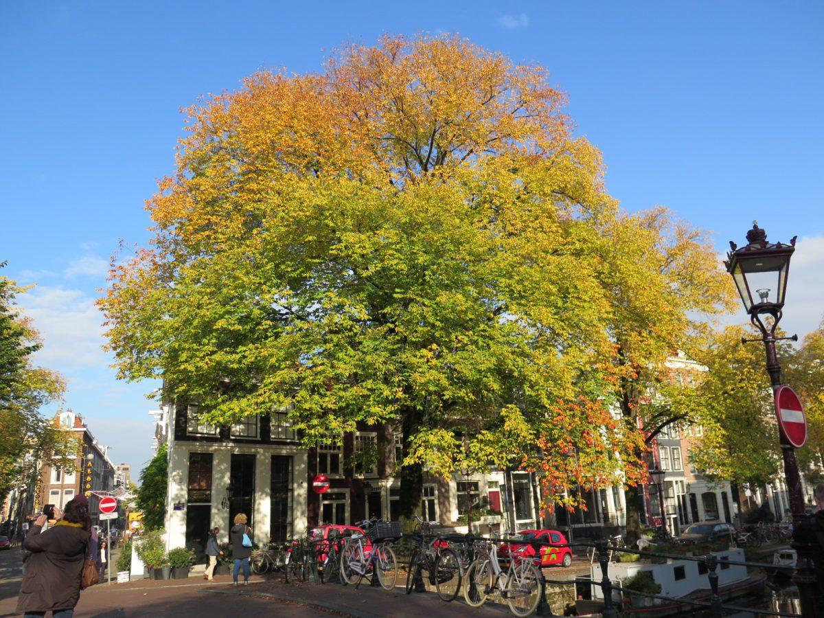 MOYA Spiegelgracht boom iep takjes oorbel herfst
